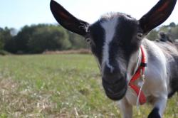 Baby Goat, Close to Camera