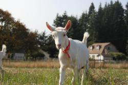 Baby Goat with Red Collar, House in Background